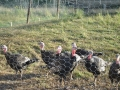 turkeys2